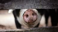 """AB'de """"Afrika domuz vebası"""" alarmı"""