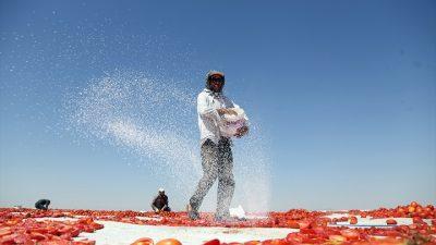 Türk domatesleri Avrupa mutfağına lezzet katıyor