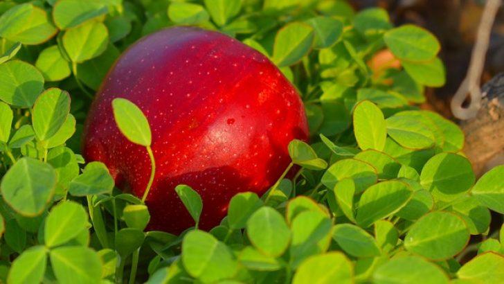 """""""Kızıl elma neydi?"""""""