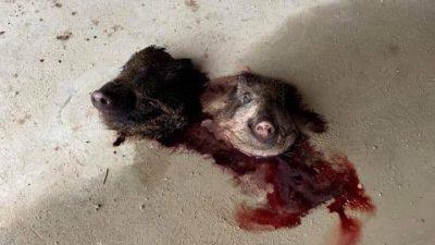 Fransa'da camiye domuz kafası bırakıldı