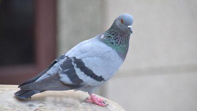 Belçika'da 1,6 milyon avroya güvercin satıldı
