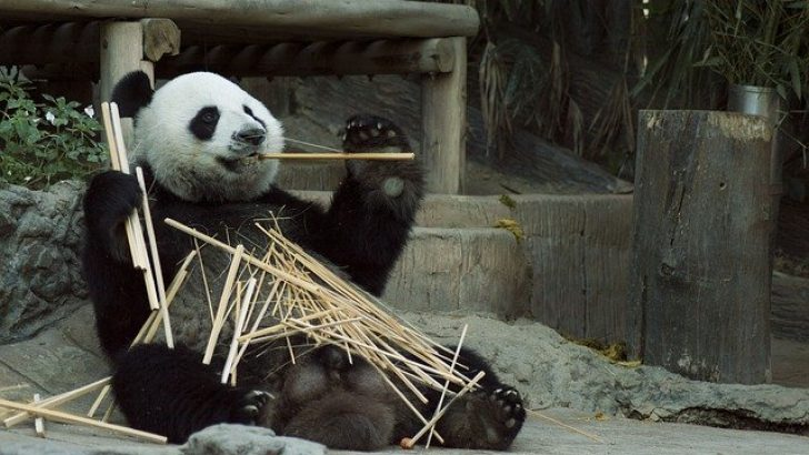Belçika'da, pandanın saldırdığı bakıcı ağır yaralandı